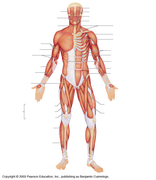 Chapter 6 The Muscular System Science – Muscular System Labeling Worksheet