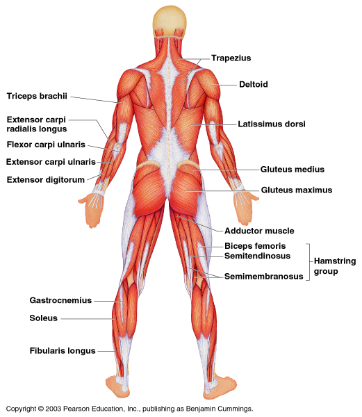 Chapter 6 The Muscular System Science